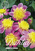 Dahlia Anemone Flowering Honey per 1