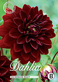 Dahlia Decorative Arabian Night per 1