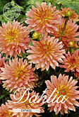 Dahlia Decorative Border Extase per 1