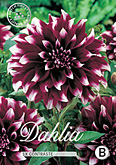 Dahlia Decorative Contraste per 1