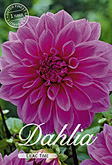 Dahlia Decorative Lilac Time per 1