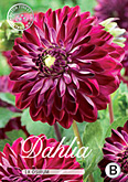 Dahlia Decorative Osirum per 1