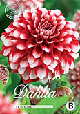 Dahlia Decorative Rexona per 1
